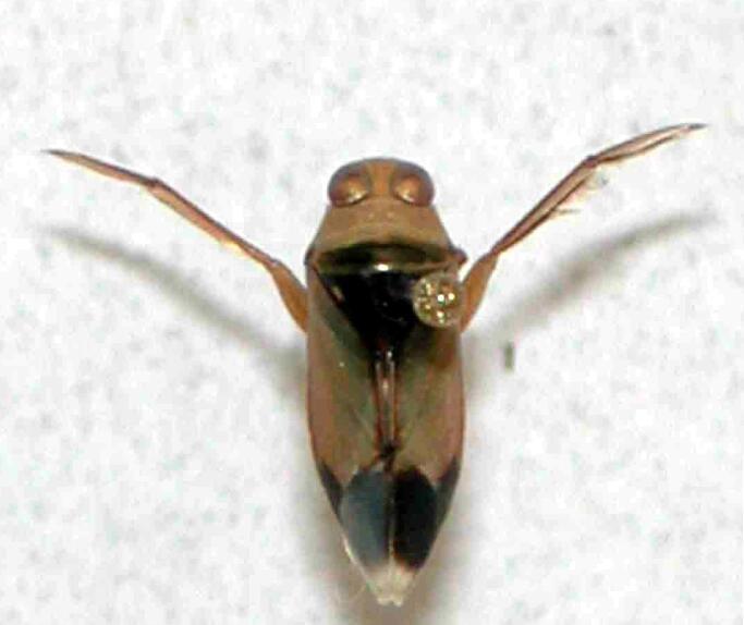 虫害---松藻虫